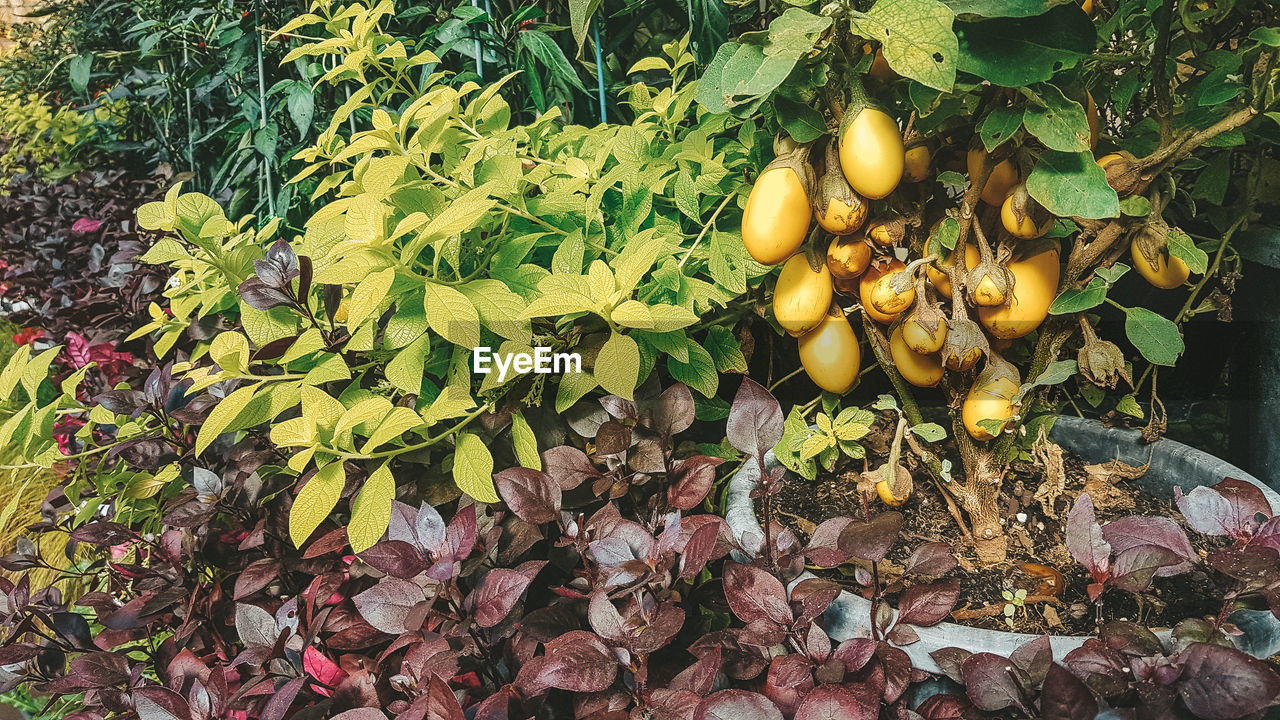 leaf, plant part, healthy eating, food and drink, fruit, growth, food, nature, freshness, no people, tree, day, plant, wellbeing, yellow, outdoors, green color, beauty in nature, close-up, abundance, leaves, natural condition