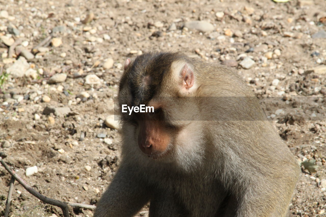 primate, animal wildlife, one animal, animals in the wild, mammal, vertebrate, day, no people, focus on foreground, nature, sunlight, sitting, land, looking, outdoors, field, baboon