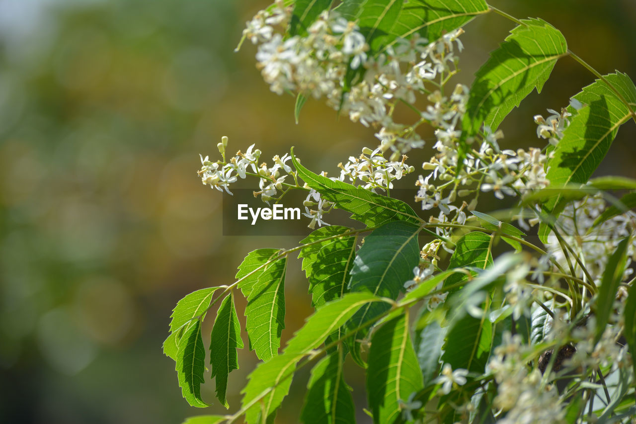 Medicinal ayurvedic azadirachta indica or neem leaves and flowers