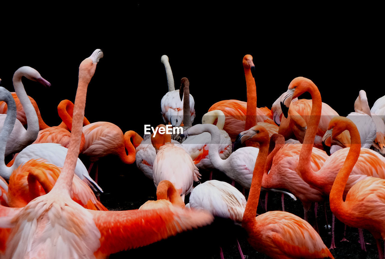 animal, animal themes, group of animals, animals in the wild, bird, flamingo, animal wildlife, vertebrate, orange color, large group of animals, water, no people, beauty in nature, nature, beak, zoology, pink color, day, outdoors, black background, animal neck, flock of birds, freshwater bird