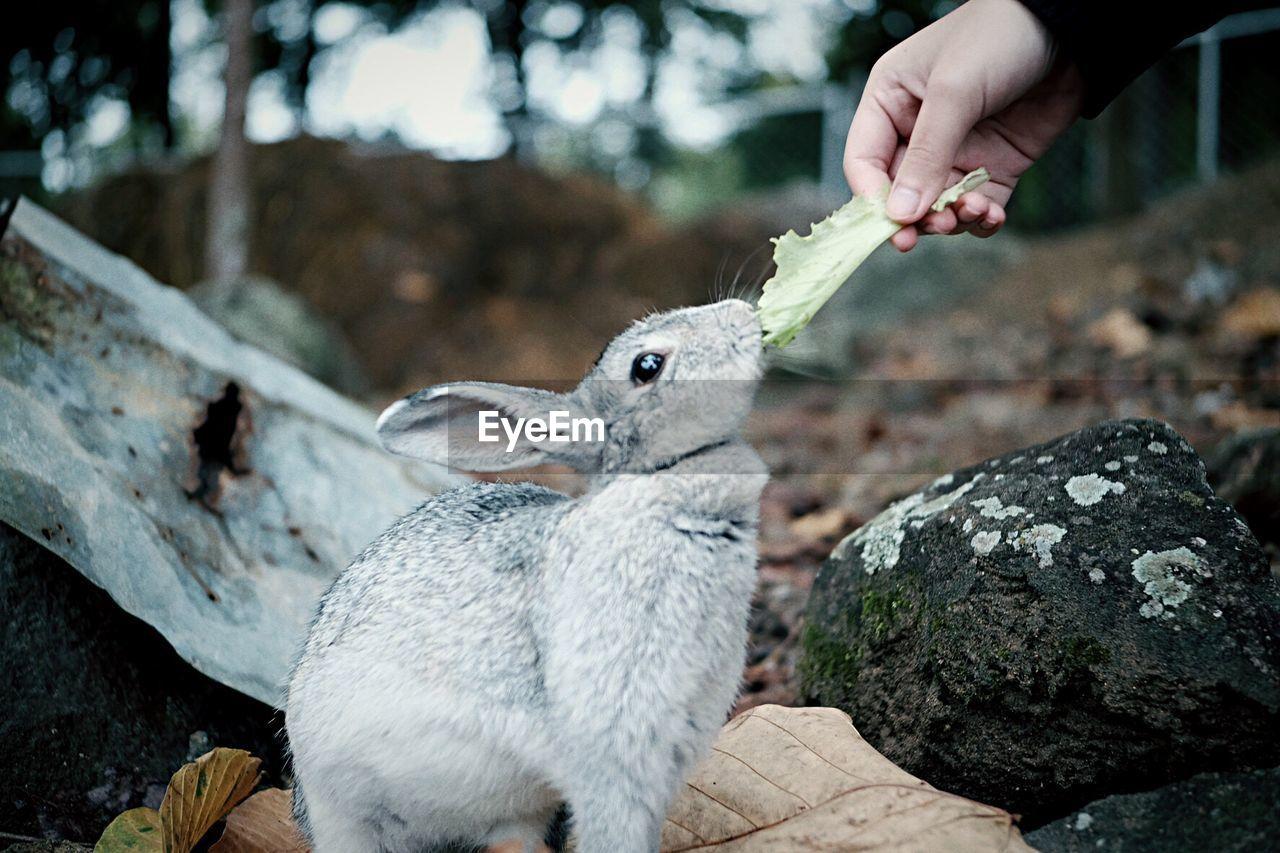 Close-up of hand feeding rabbit