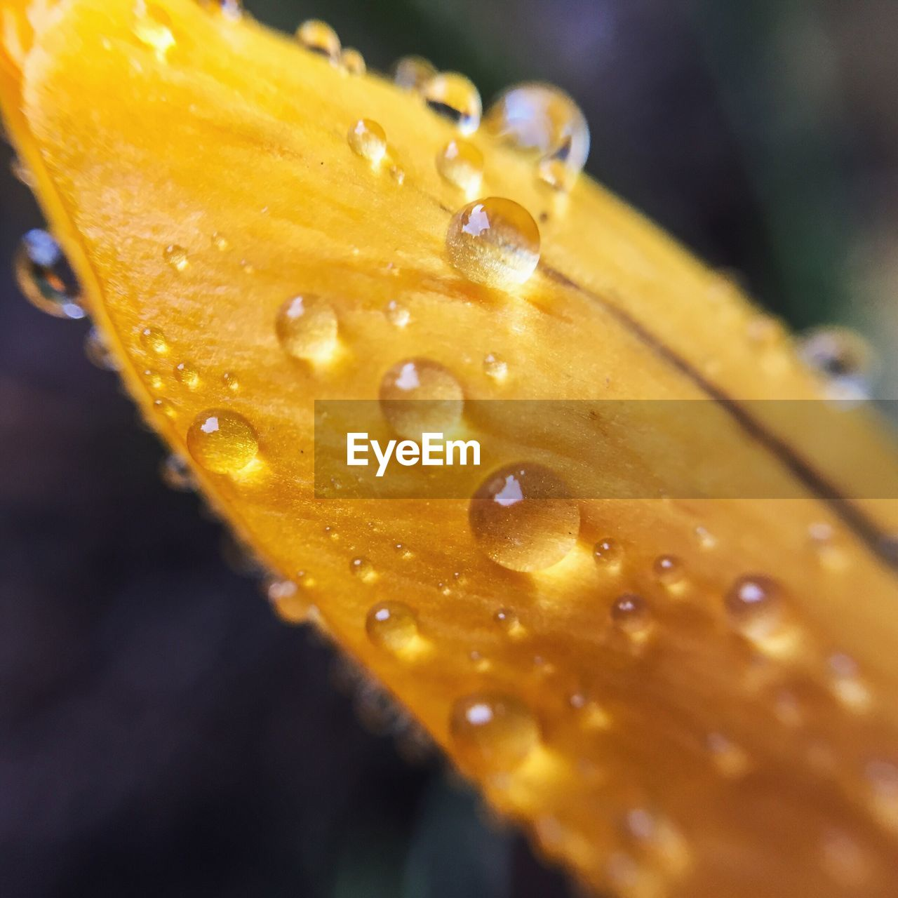 Close-up of water drops on yellow leaf