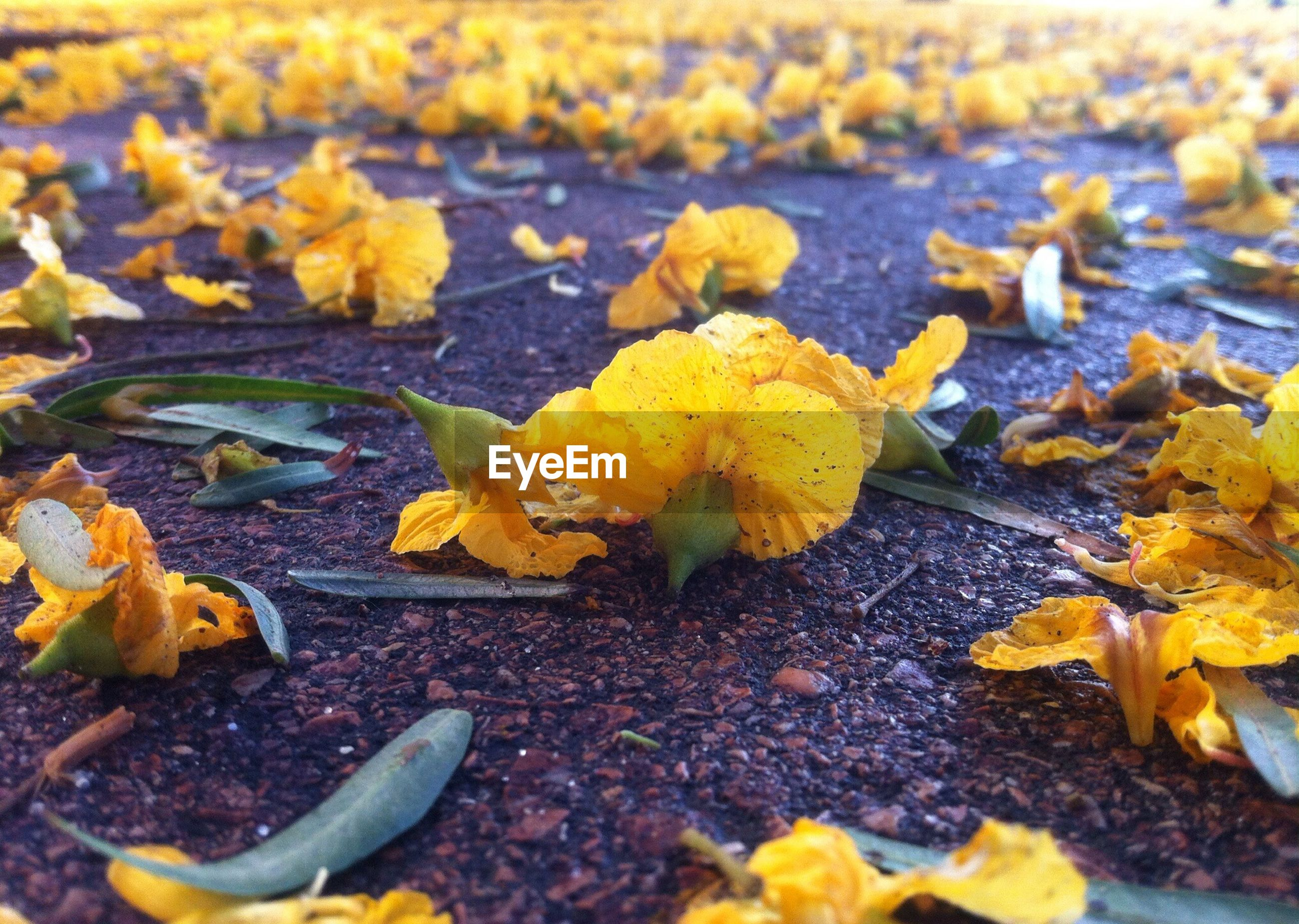 Close-up of yellow flowers fallen on street