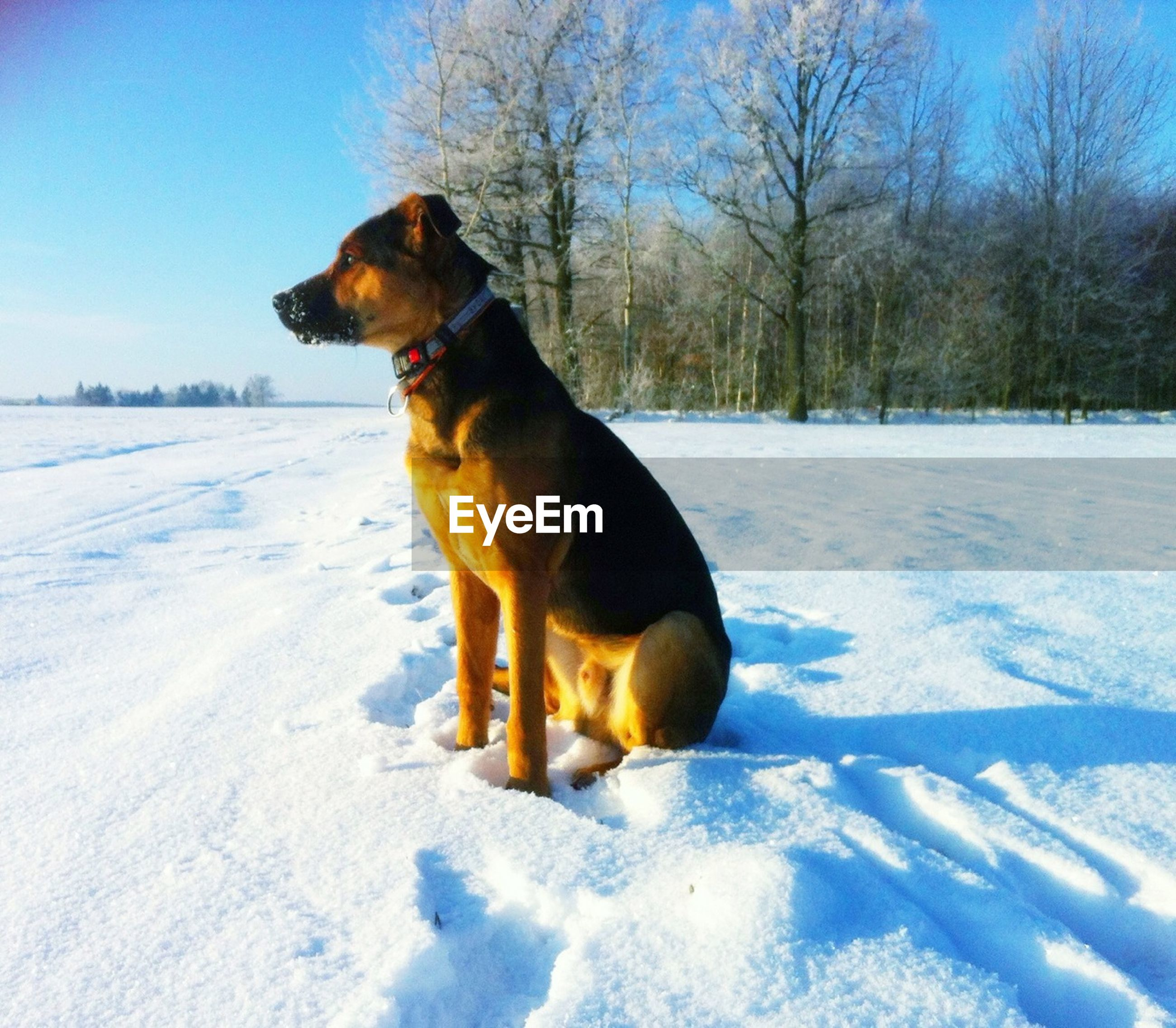 Dog on snow covered landscape against bare trees
