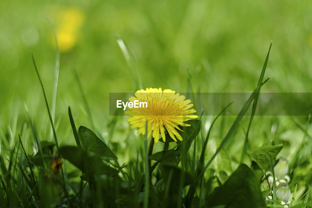 flower, growth, nature, plant, yellow, fragility, green color, beauty in nature, field, freshness, grass, petal, flower head, selective focus, no people, close-up, leaf, outdoors, day, blooming