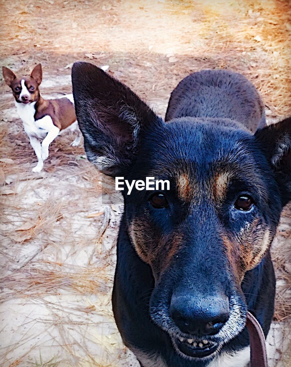 dog, pets, looking at camera, portrait, german shepherd, animal themes, domestic animals, one animal, no people, mammal, alertness, outdoors, day, close-up