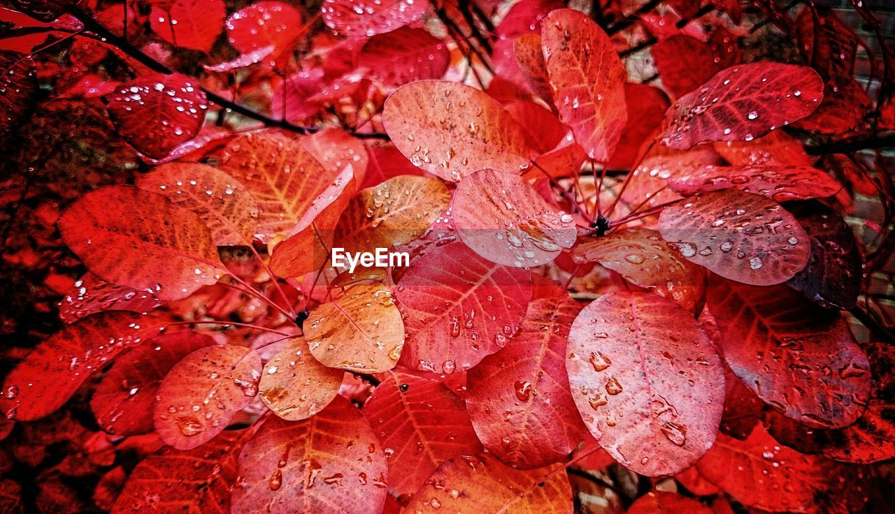 Close-Up Of Wet Red Autumn Leaves