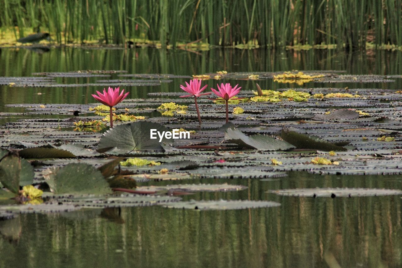 flower, water, lake, water lily, flowering plant, plant, beauty in nature, floating, floating on water, leaf, reflection, plant part, nature, lily, freshness, vulnerability, lotus water lily, fragility, no people, pink color, outdoors, flower head, swamp
