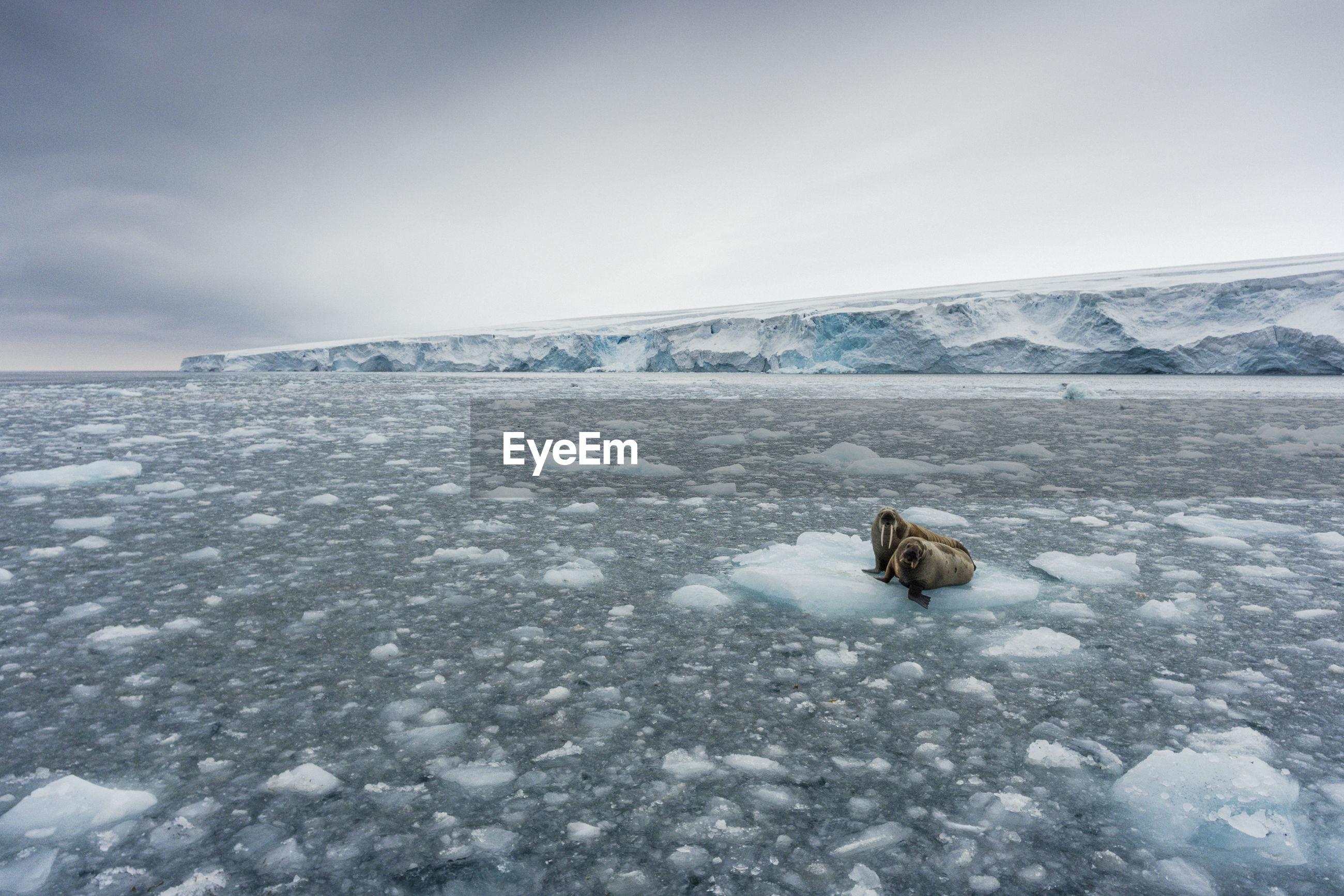 Walruses on frozen sea against sky