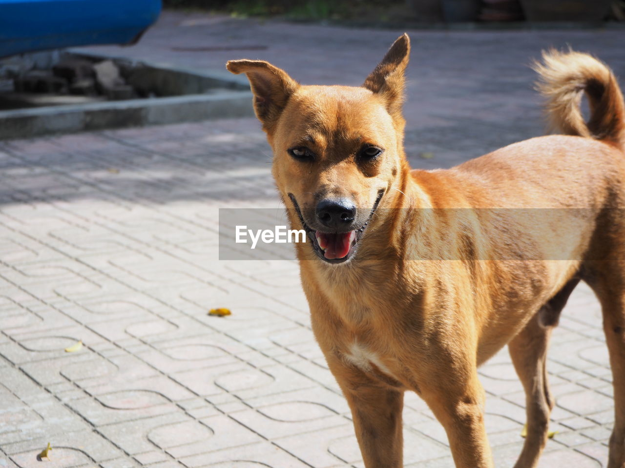 mammal, one animal, canine, dog, domestic animals, domestic, pets, vertebrate, portrait, looking at camera, standing, footpath, focus on foreground, no people, brown, looking, day
