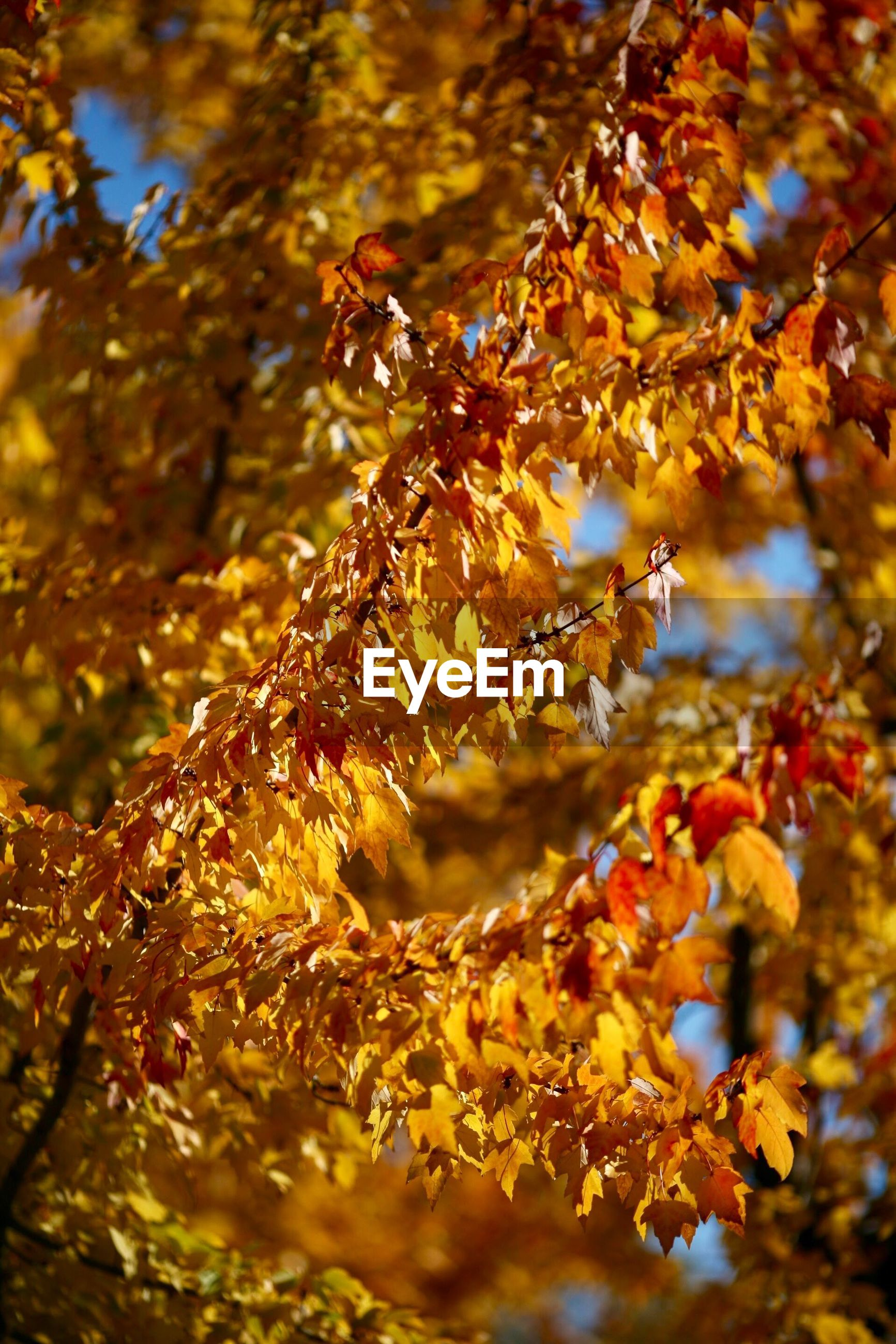 CLOSE-UP OF AUTUMNAL LEAVES ON BRANCH