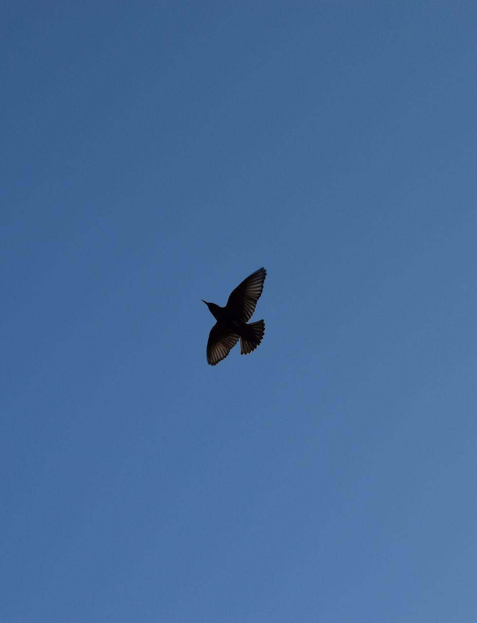 animal wildlife, animal themes, one animal, vertebrate, animals in the wild, animal, bird, flying, sky, low angle view, spread wings, clear sky, mid-air, copy space, blue, no people, motion, day, beauty in nature, nature, outdoors