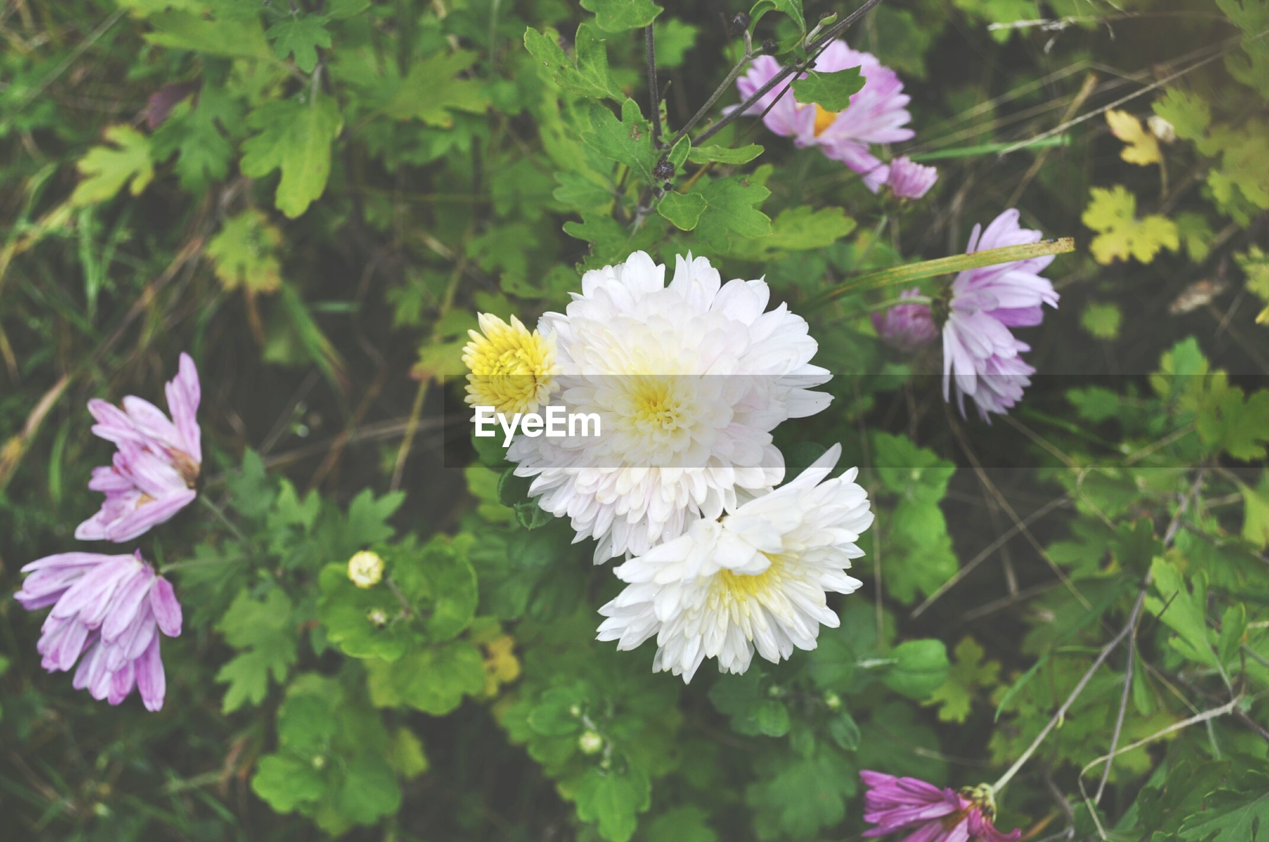 flower, freshness, fragility, petal, growth, flower head, beauty in nature, blooming, plant, nature, leaf, focus on foreground, close-up, pink color, in bloom, park - man made space, day, green color, outdoors, blossom