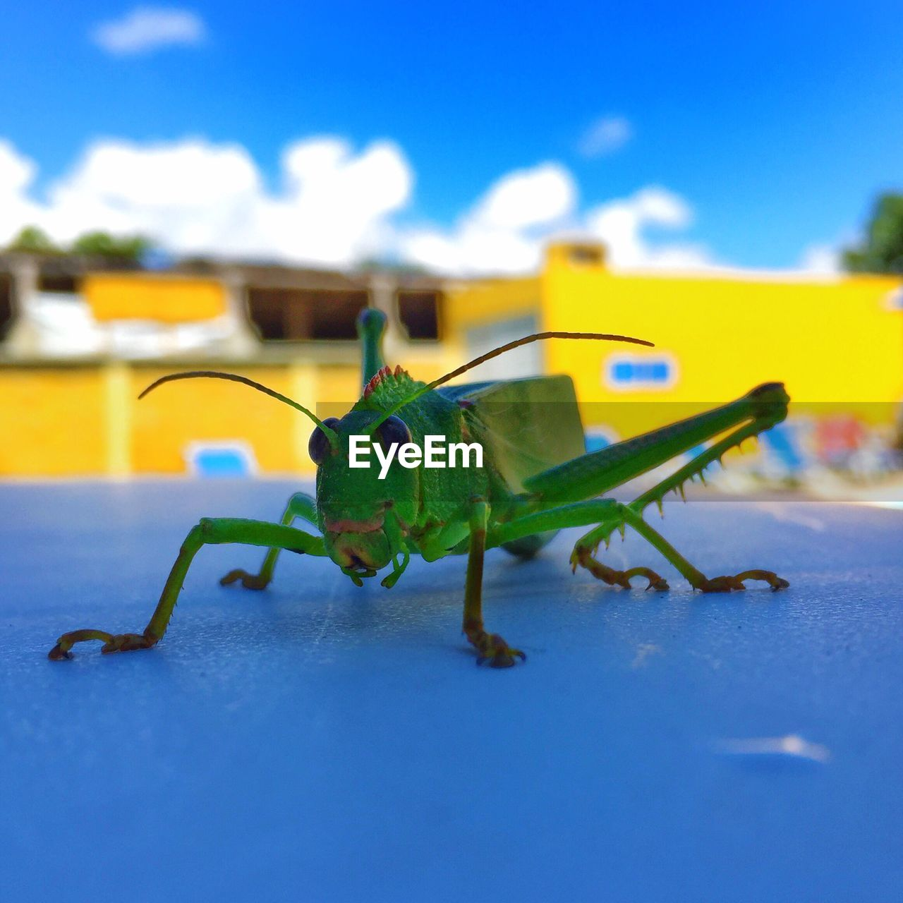 green color, animal themes, one animal, close-up, insect, animals in the wild, no people, animal wildlife, day, grasshopper, blue, nature, outdoors, sky