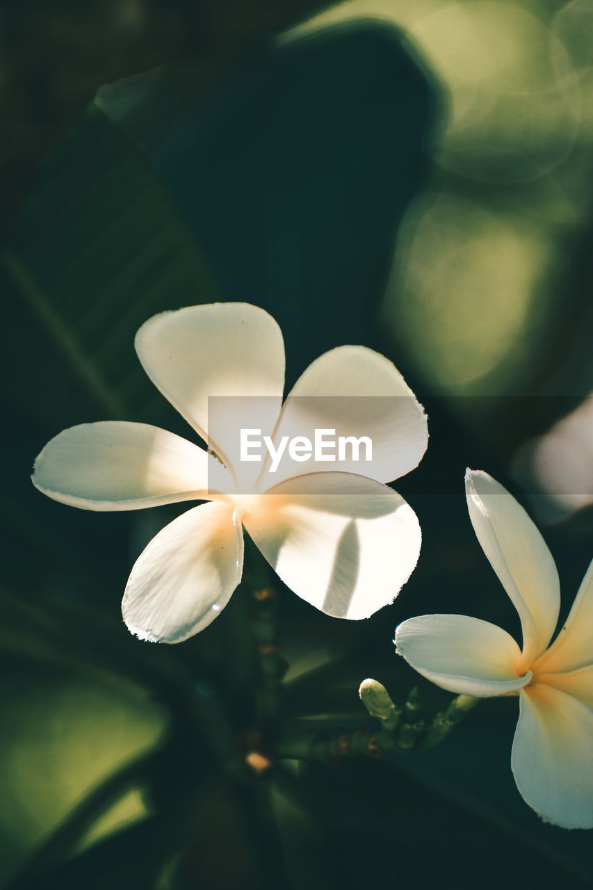 flowering plant, flower, vulnerability, beauty in nature, fragility, plant, flower head, freshness, inflorescence, petal, growth, close-up, frangipani, white color, no people, nature, leaf, day, plant part, focus on foreground
