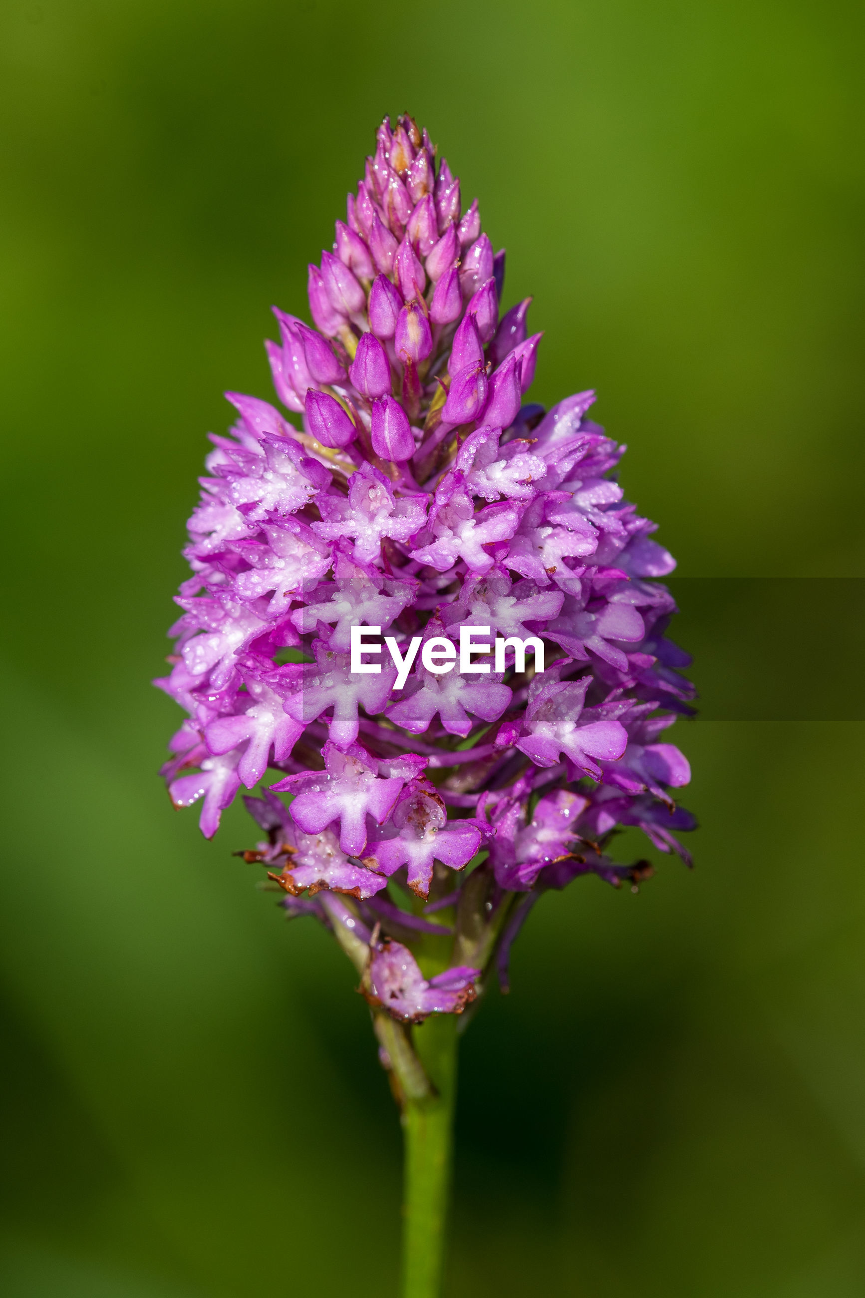 Close up of a pyramid orchid in bloom