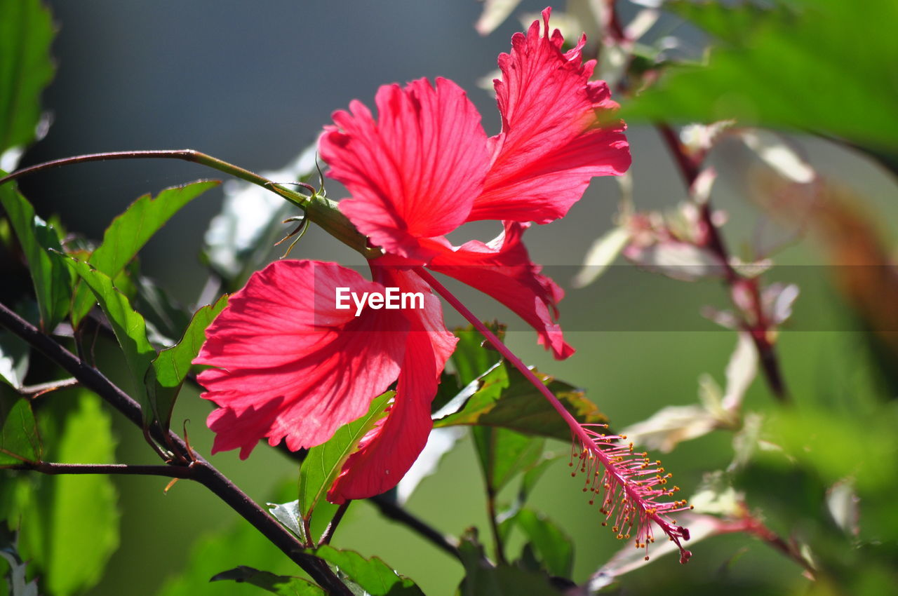 flowering plant, plant, flower, petal, vulnerability, growth, fragility, beauty in nature, freshness, close-up, flower head, inflorescence, hibiscus, focus on foreground, red, no people, day, plant part, nature, leaf, pollen, outdoors