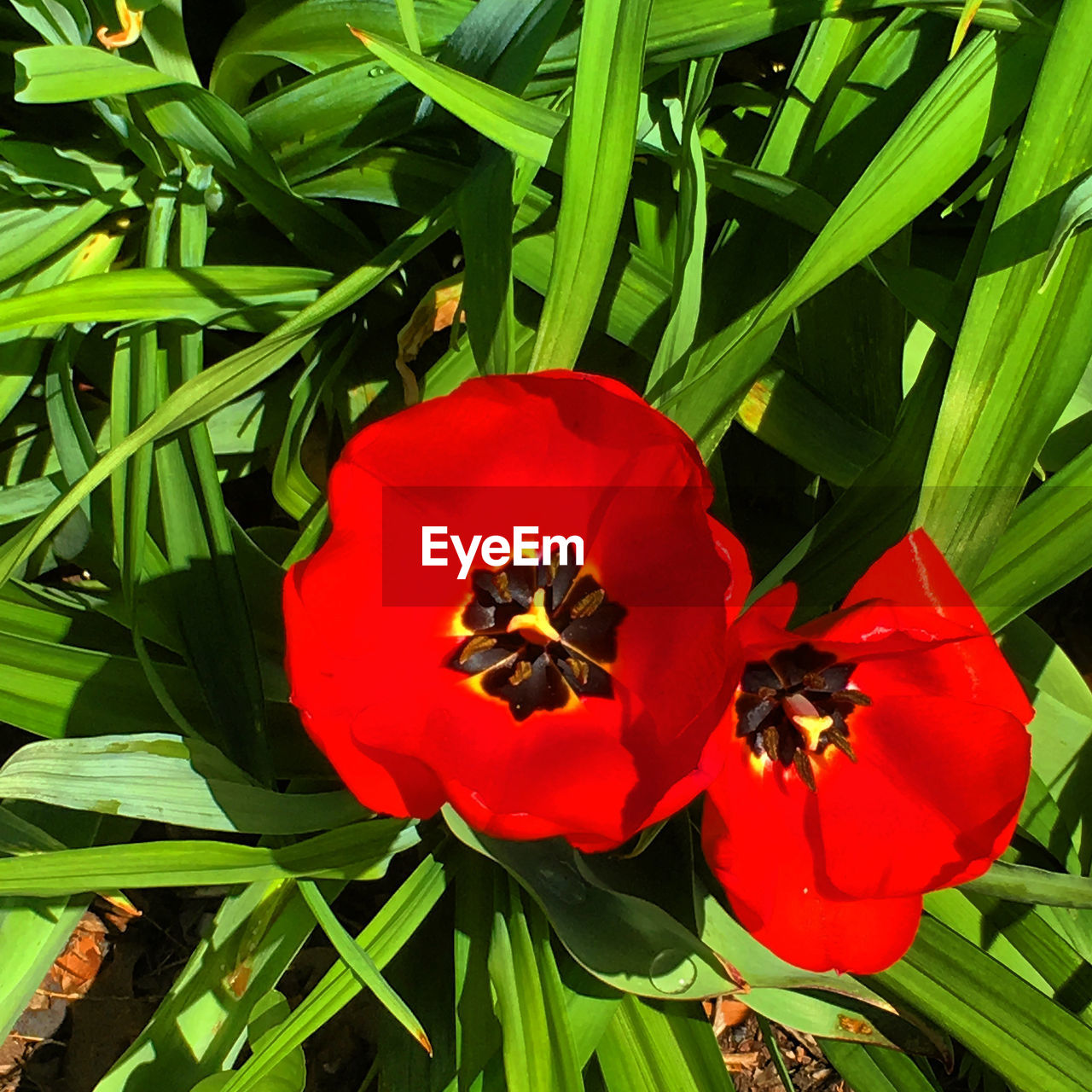 flower, petal, fragility, flower head, beauty in nature, red, nature, growth, freshness, plant, no people, day, outdoors, blooming, pollen, poppy, close-up