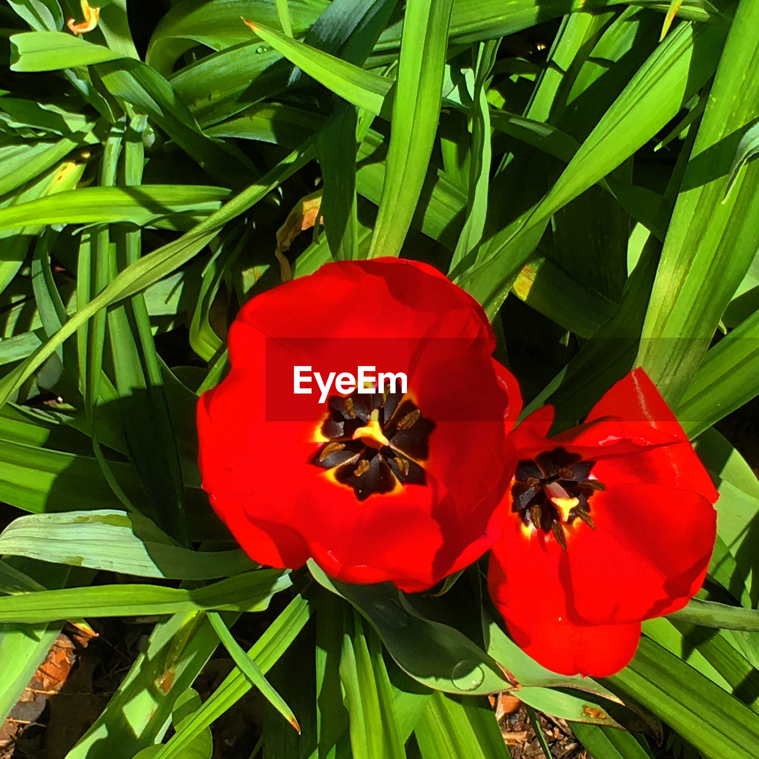 RED POPPY BLOOMING OUTDOORS