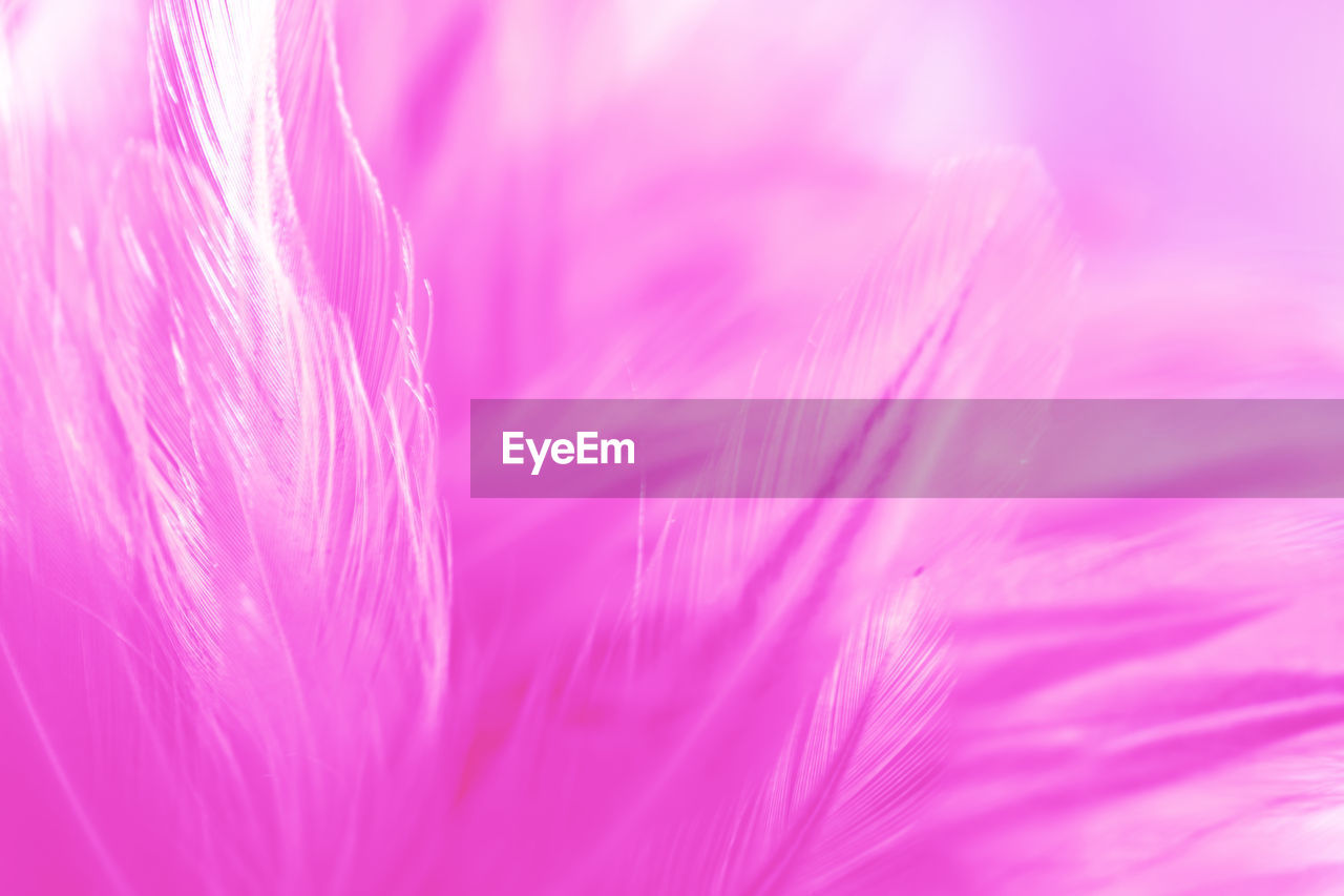 pink color, beauty in nature, close-up, vulnerability, fragility, plant, softness, no people, freshness, selective focus, flower, backgrounds, flowering plant, full frame, macro, nature, growth, extreme close-up, day, outdoors, lightweight, flower head, purple, dandelion seed