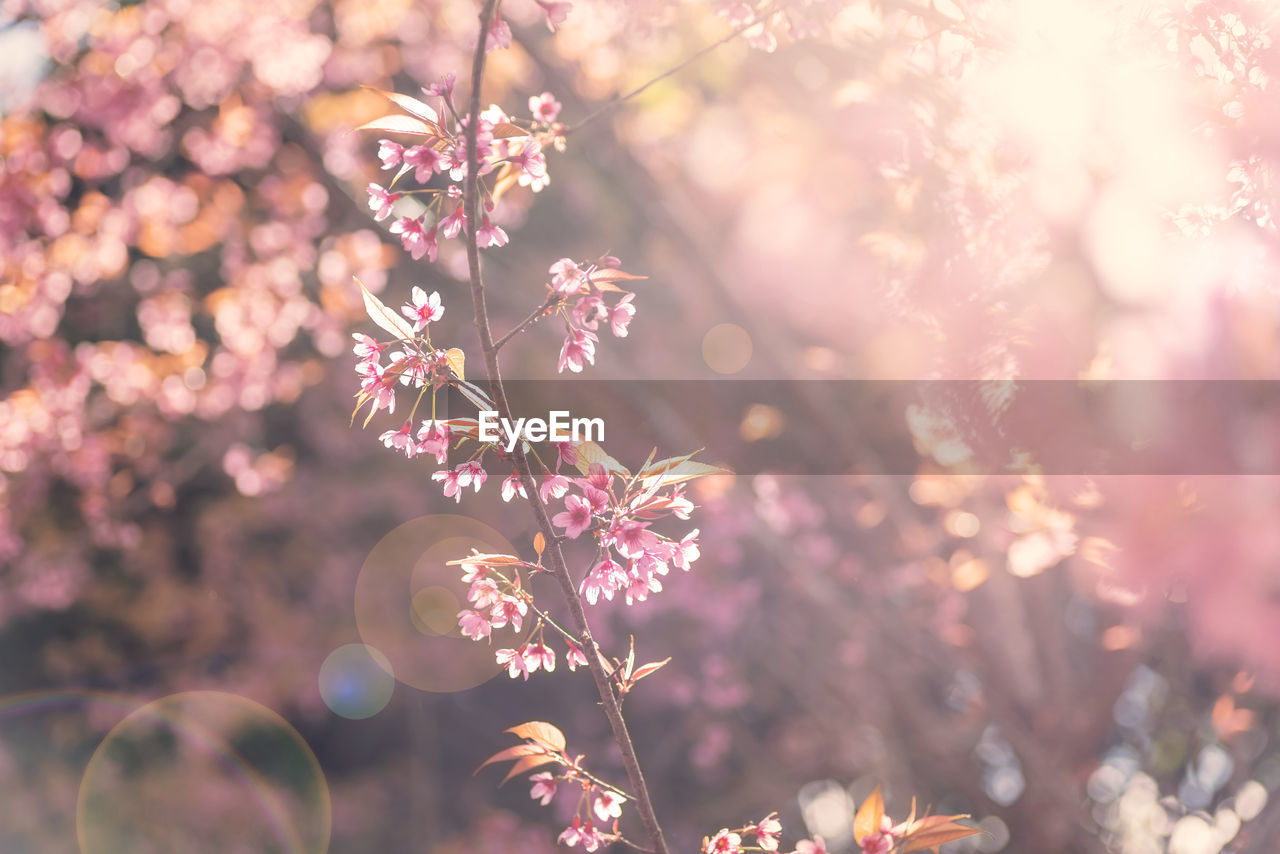 flower, flowering plant, plant, freshness, beauty in nature, fragility, vulnerability, close-up, selective focus, growth, pink color, nature, day, no people, outdoors, petal, sunlight, flower head, focus on foreground, springtime, cherry blossom
