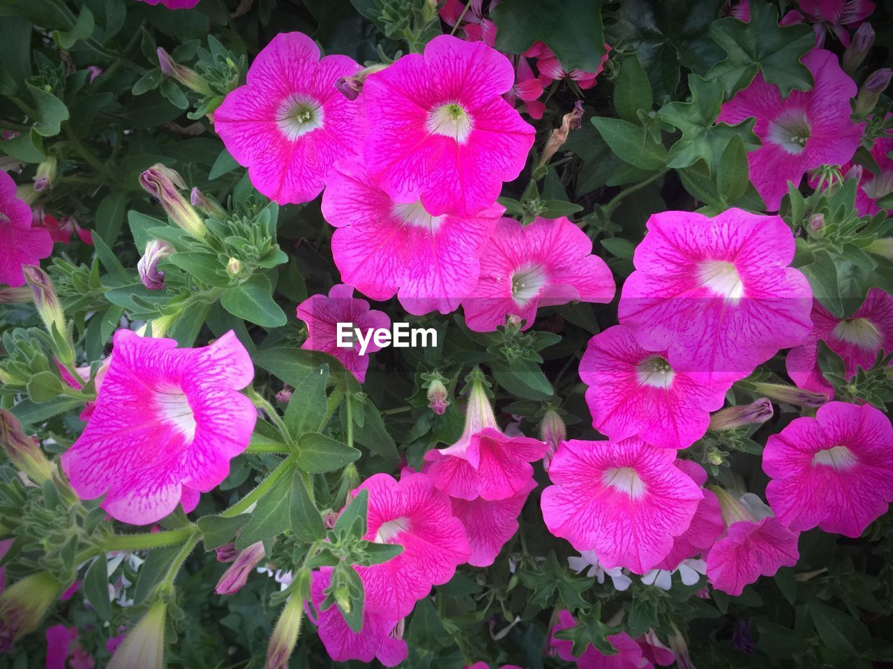 flower, growth, plant, leaf, high angle view, petal, outdoors, beauty in nature, day, nature, blooming, no people, fragility, freshness, flower head, petunia