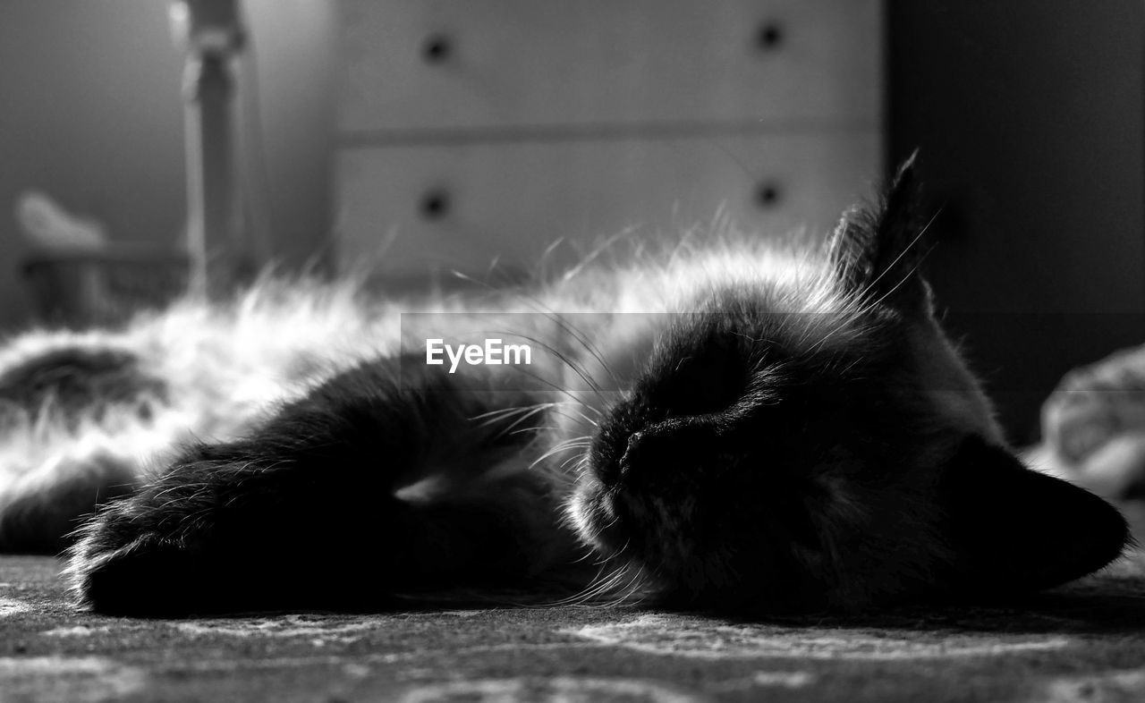 cat, domestic cat, feline, one animal, relaxation, animal themes, animal, pets, domestic, mammal, vertebrate, domestic animals, sleeping, resting, no people, lying down, close-up, indoors, eyes closed, whisker