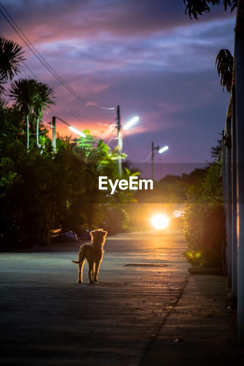 Dog on street during sunset