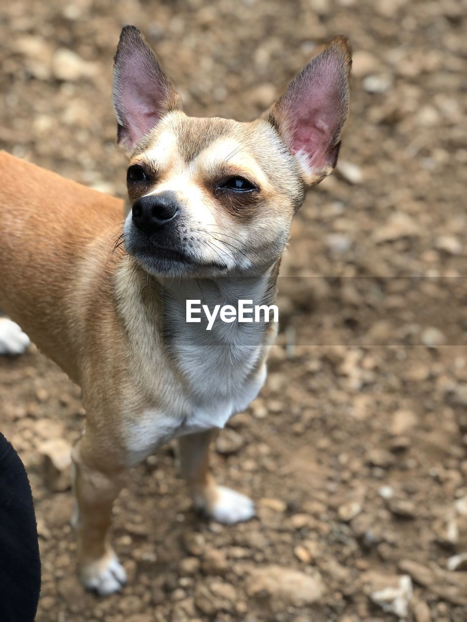 mammal, domestic animals, one animal, animal themes, animal, domestic, pets, dog, canine, vertebrate, portrait, land, looking at camera, field, no people, focus on foreground, standing, day, animal body part, sunlight, animal head, small, chihuahua - dog