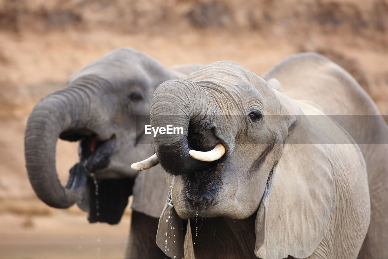 Close-Up Of Two Elephants Drinking Water