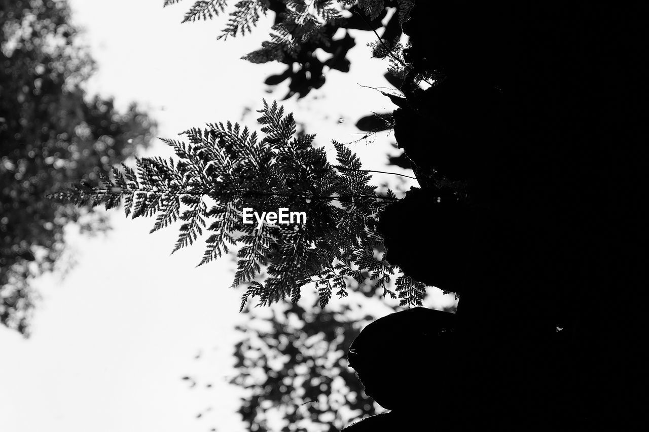 tree, plant, silhouette, growth, sky, nature, low angle view, day, outdoors, branch, beauty in nature, focus on foreground, close-up, no people, tranquility, selective focus, clear sky, leaf, plant part, scenics - nature