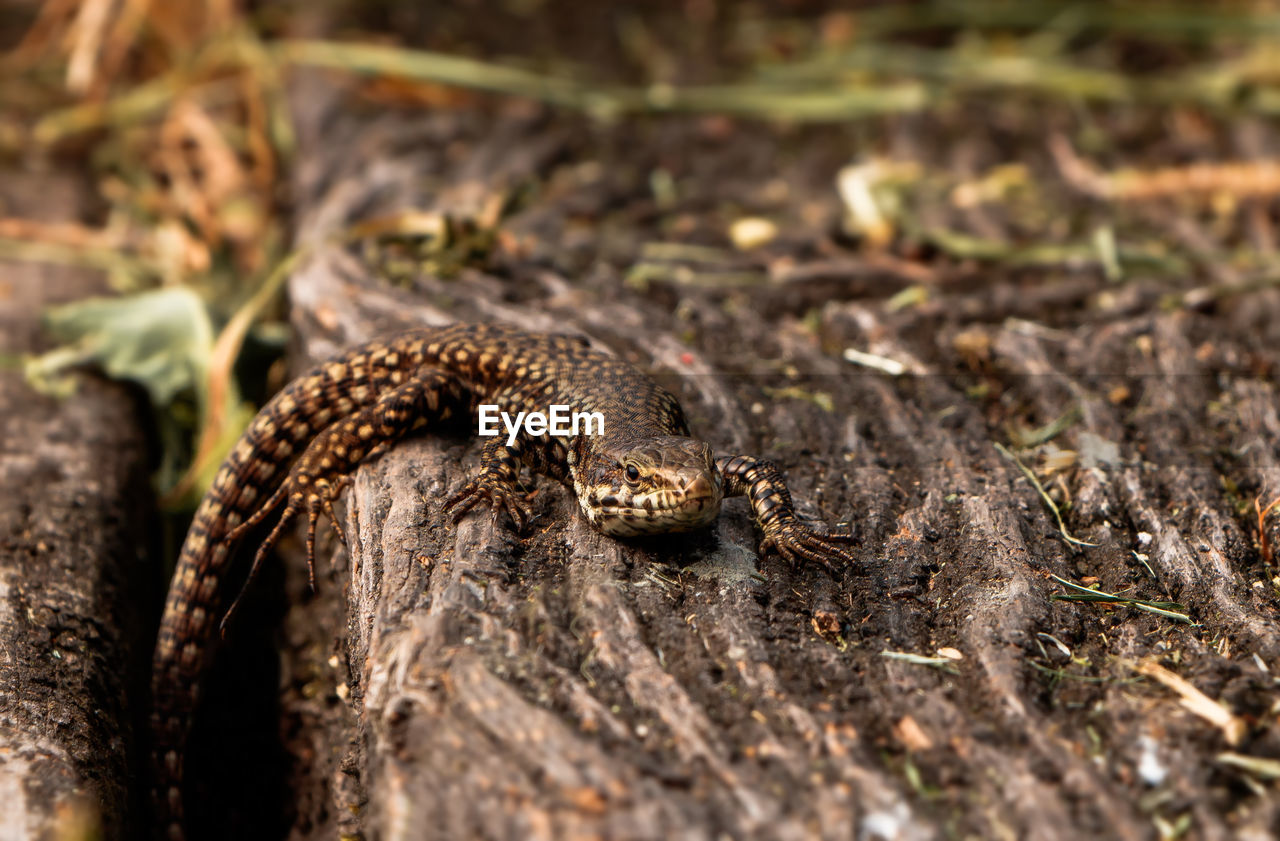 one animal, animal, animal themes, animal wildlife, animals in the wild, reptile, vertebrate, selective focus, nature, close-up, no people, animal body part, lizard, day, snake, land, warning sign, outdoors, sign, field, animal scale, poisonous, animal head
