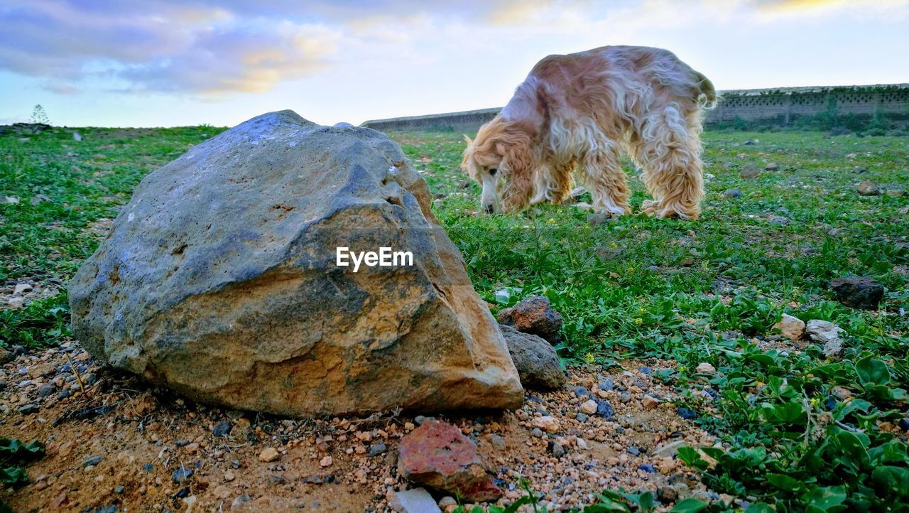 dog, animal themes, domestic animals, one animal, rock - object, mammal, sky, pets, outdoors, no people, nature, grass, day, landscape, beauty in nature