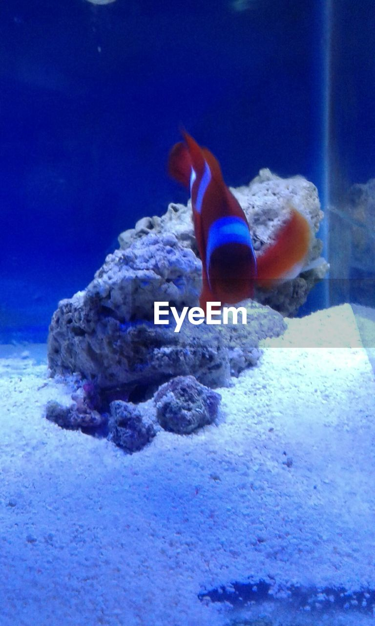 underwater, animal themes, sea life, one animal, animals in the wild, undersea, water, swimming, fish, aquarium, wildlife, sea, animals in captivity, animal wildlife, coral, no people, clown fish, nature, indoors, close-up, beauty in nature, sea anemone, day