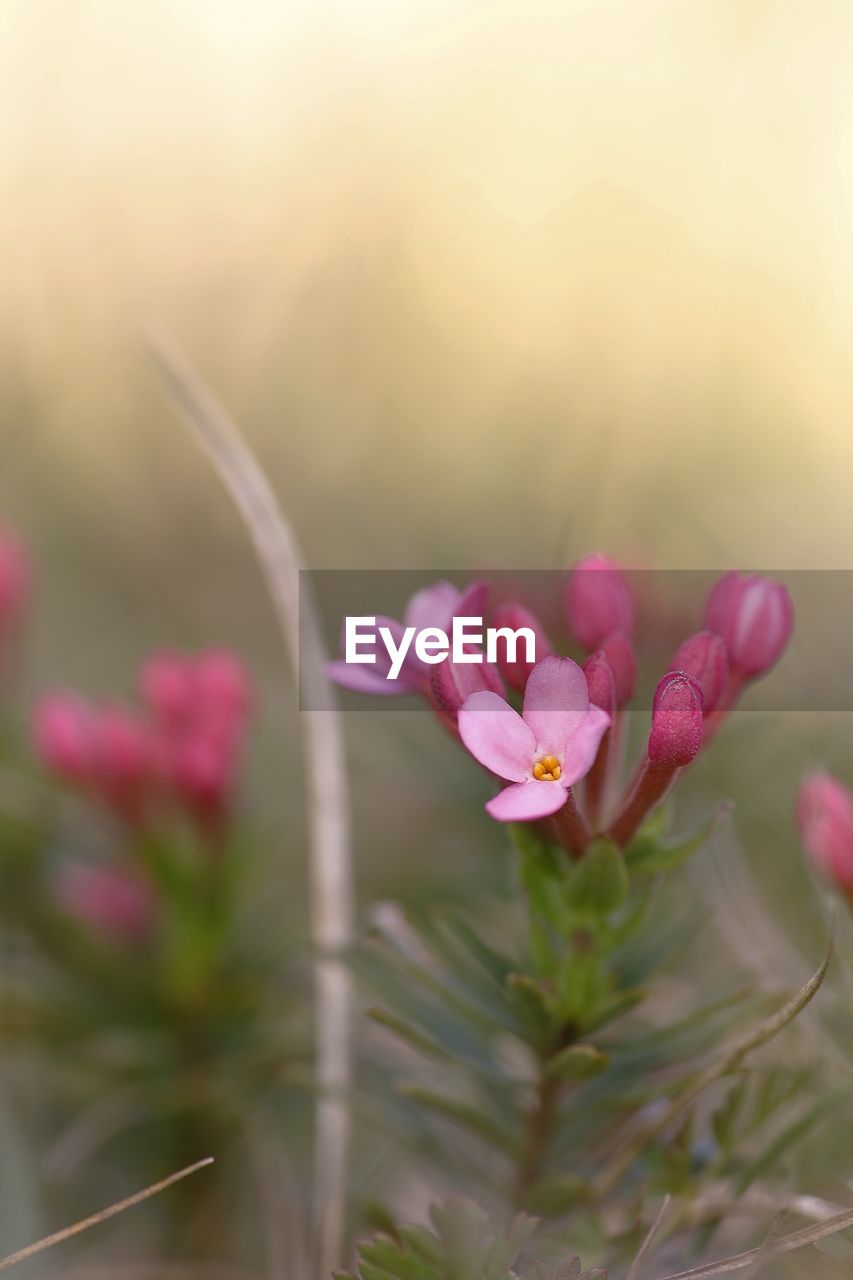 plant, flower, beauty in nature, flowering plant, close-up, freshness, growth, fragility, vulnerability, pink color, nature, petal, focus on foreground, no people, selective focus, outdoors, flower head, day, inflorescence, botany