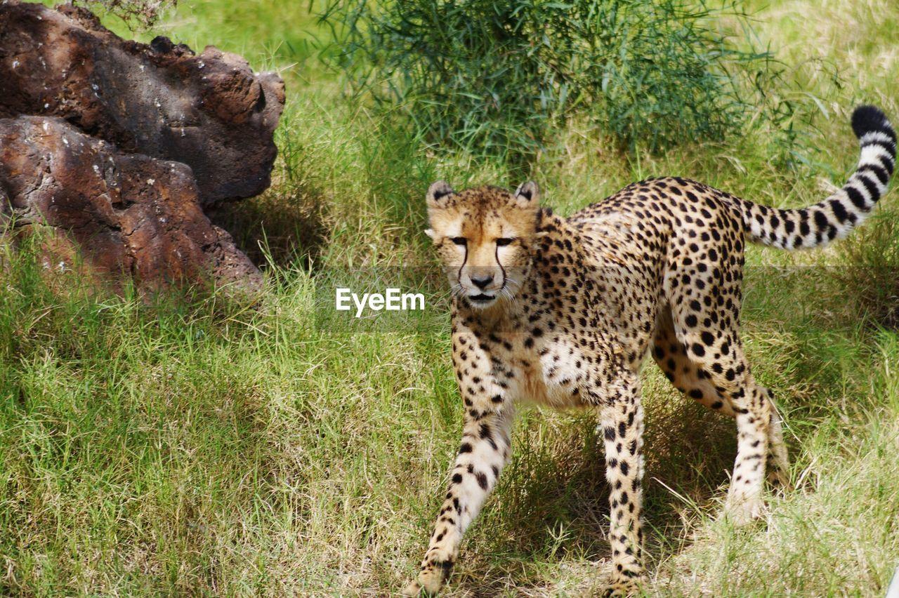 Portrait Of Cheetah Walking On Grassy Field
