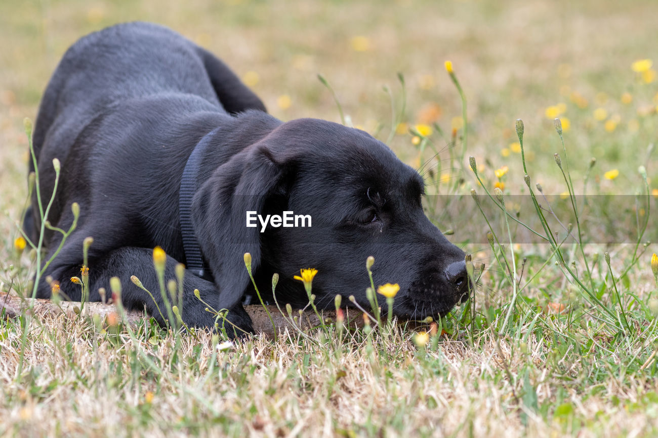 Low Angle Portrait Of A Cute Black Labrador Id 146703169