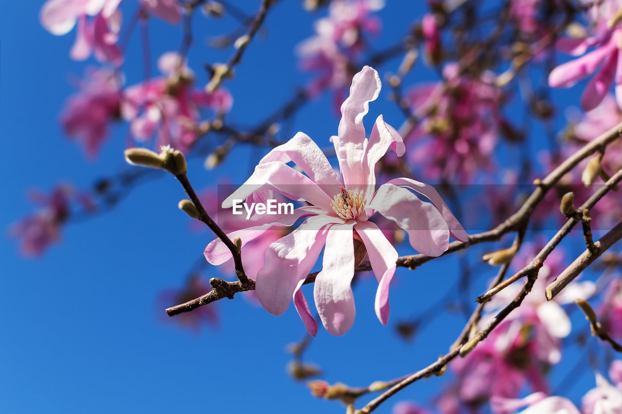 flowering plant, flower, plant, growth, fragility, beauty in nature, vulnerability, pink color, freshness, petal, tree, branch, blossom, close-up, springtime, nature, inflorescence, pollen, focus on foreground, flower head, no people, cherry blossom, outdoors, cherry tree, plum blossom, spring