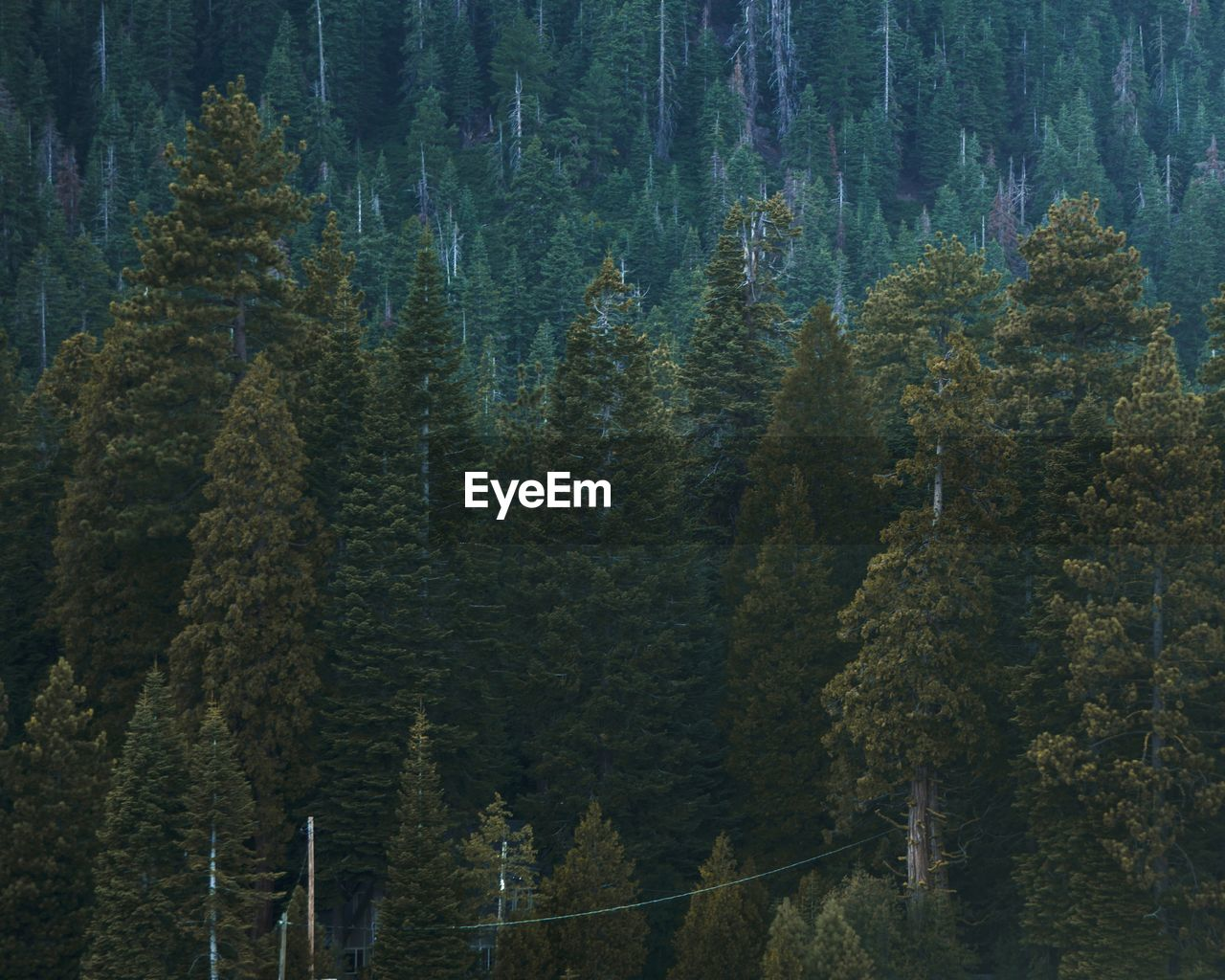 PINE TREES IN FOREST AGAINST MOUNTAIN