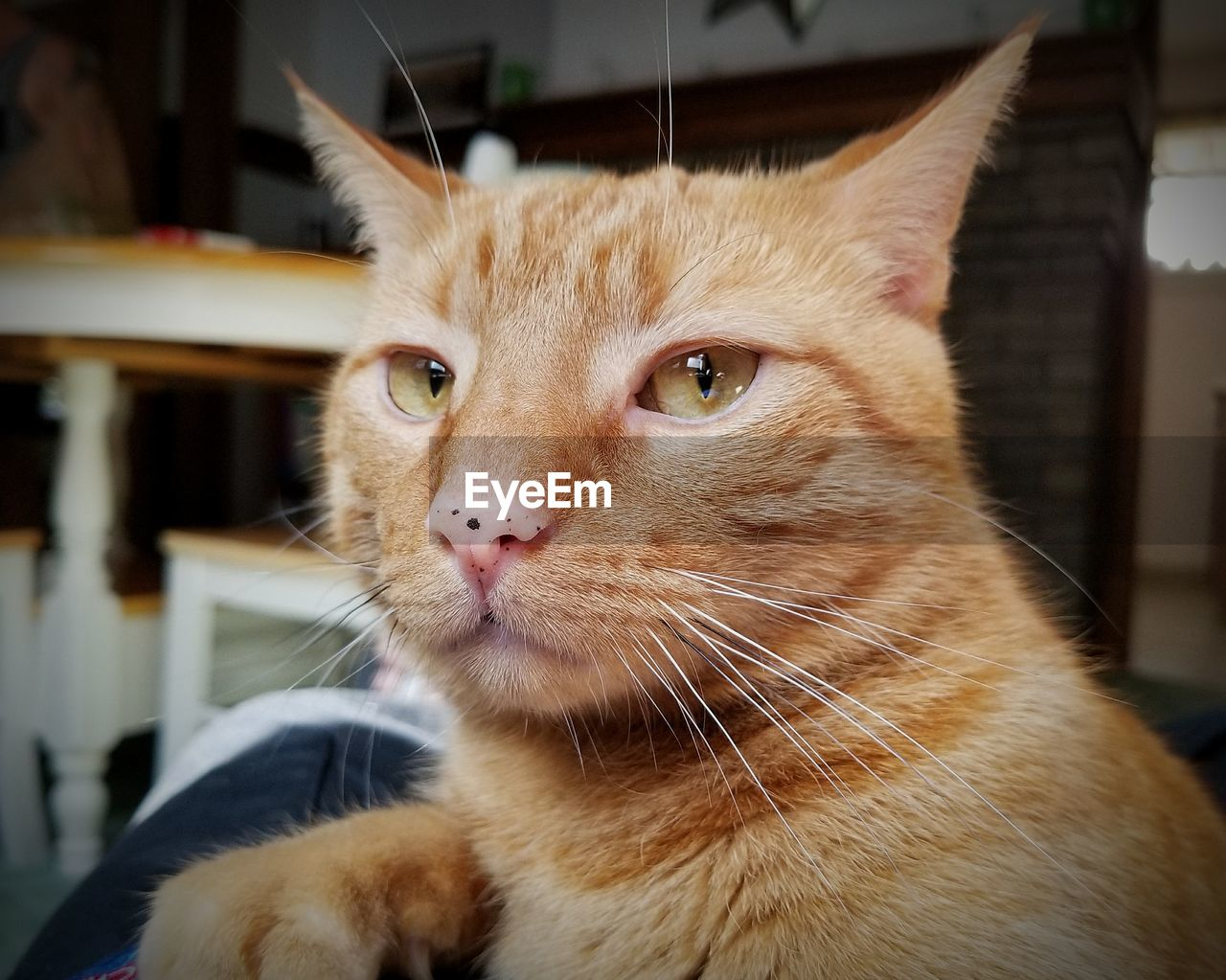 cat, domestic, feline, domestic cat, domestic animals, pets, animal themes, mammal, animal, vertebrate, one animal, whisker, close-up, focus on foreground, animal body part, portrait, animal head, looking at camera, no people, indoors, ginger cat, animal eye, tabby, snout