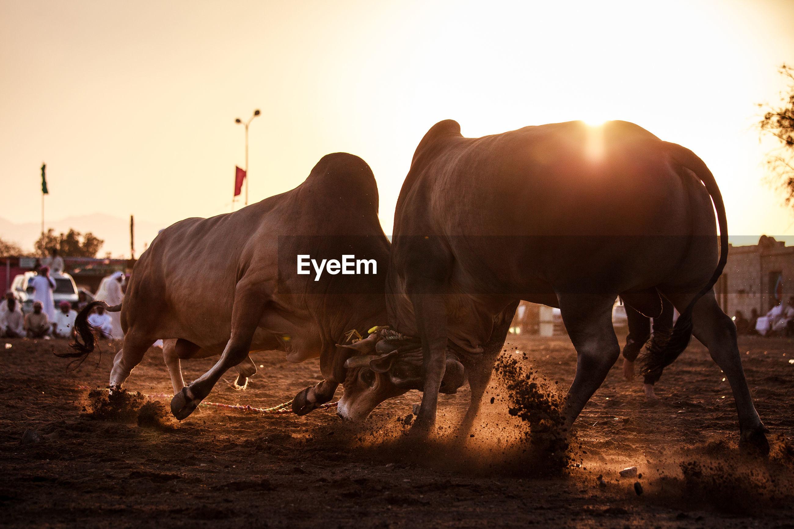 Bull fighting on landscape against sky during sunset
