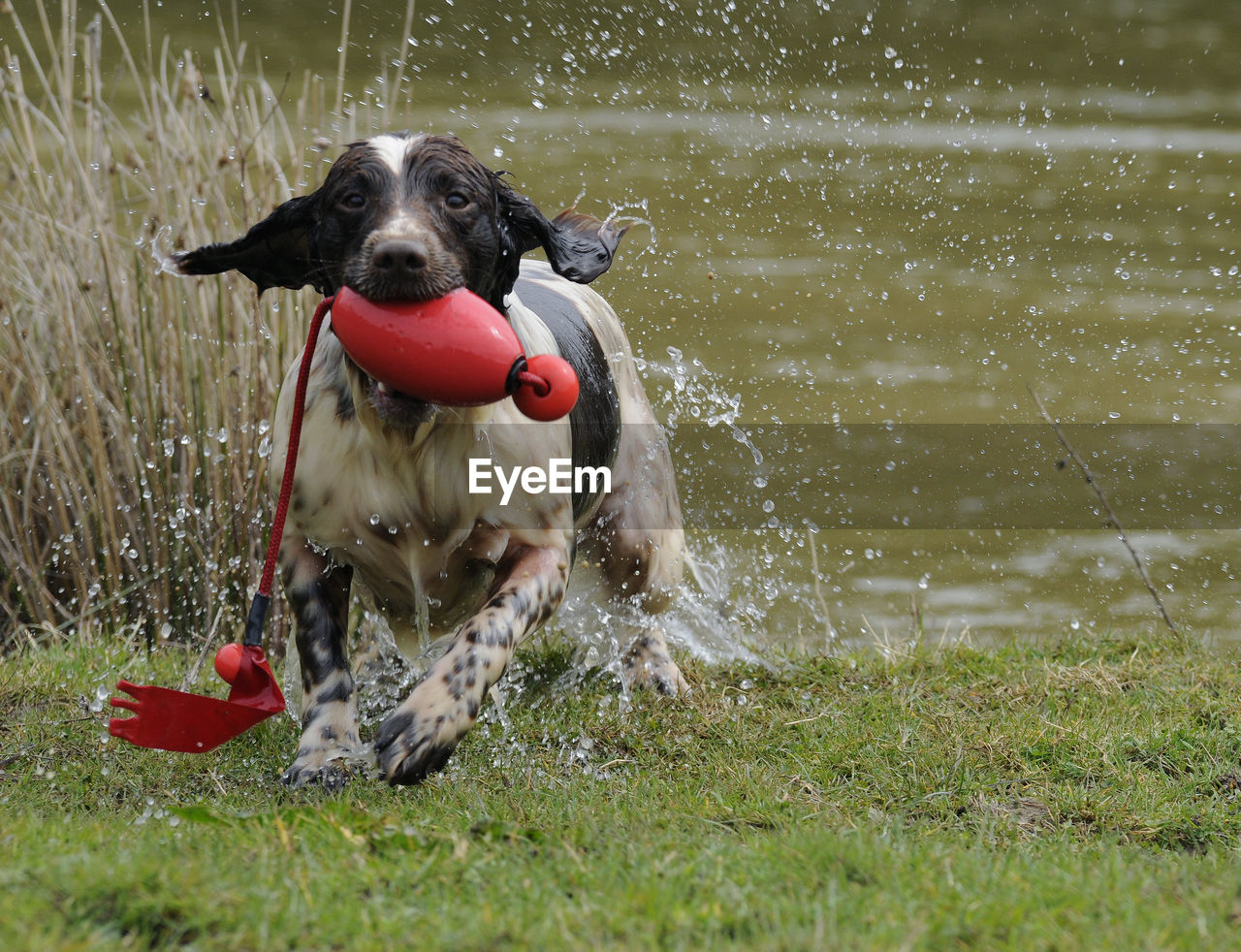 Portrait Of Wet Springer Spaniel Running With Toy In Mouth On Grass