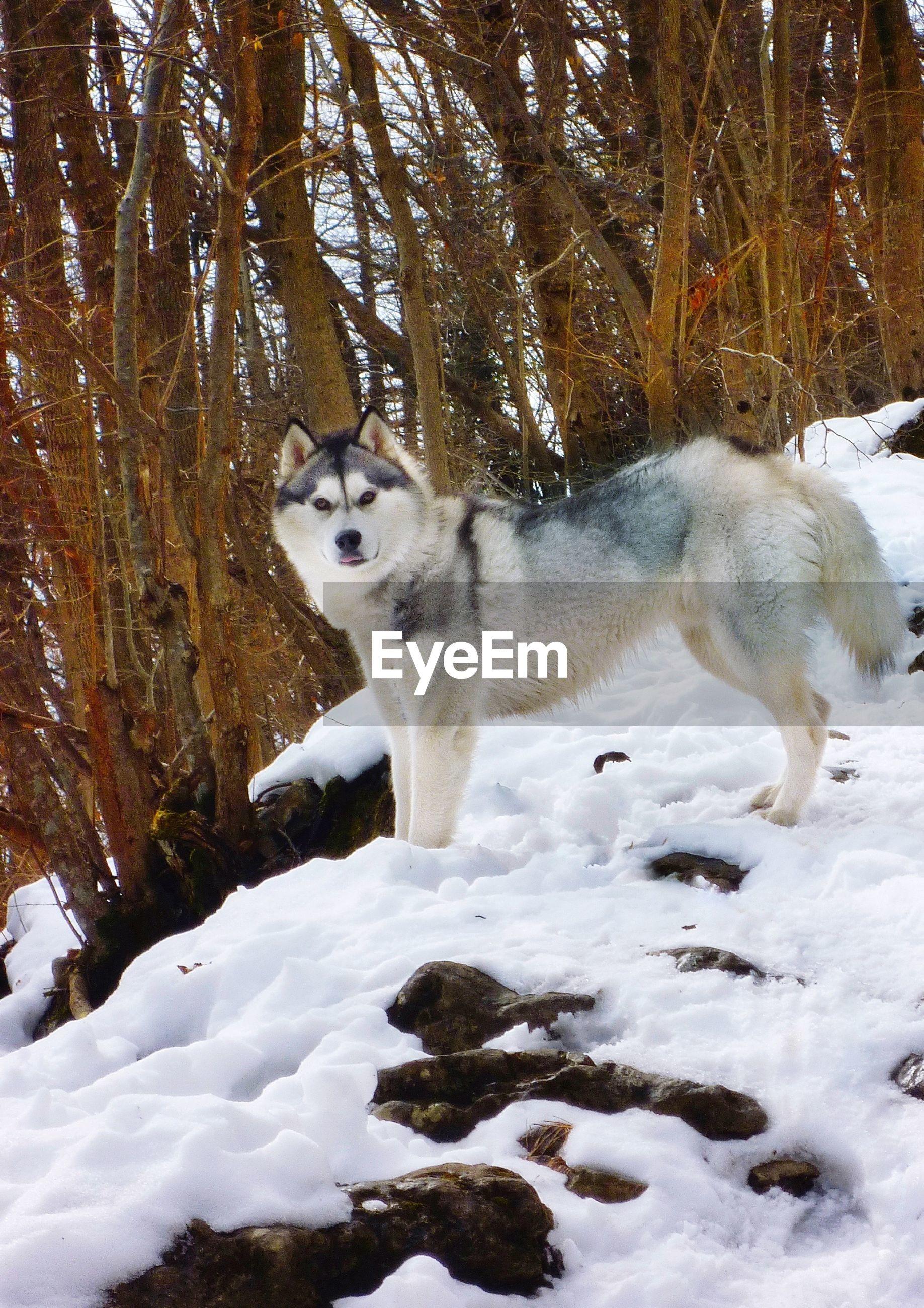 Portrait of siberian husky on snowfield against bare trees