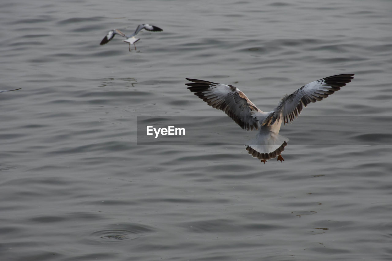 flying, animal themes, bird, animals in the wild, animal, animal wildlife, vertebrate, spread wings, water, mid-air, motion, group of animals, no people, day, waterfront, nature, seagull, sea, beauty in nature, outdoors, flapping