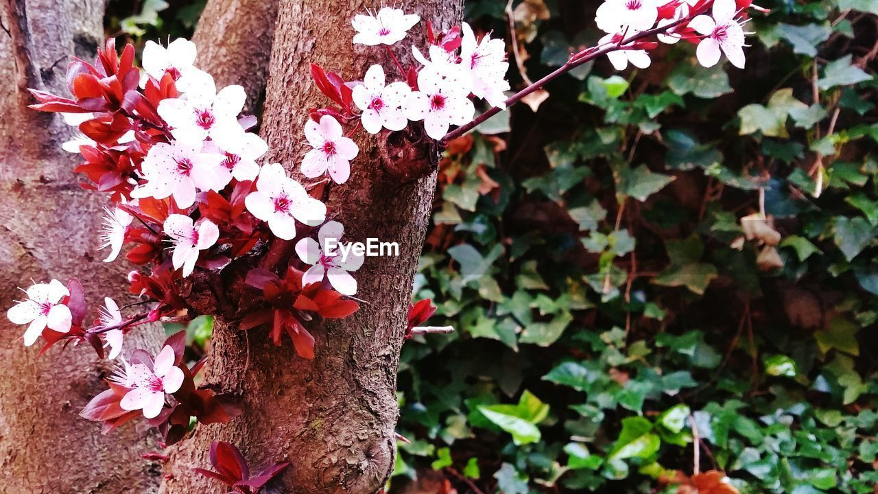 plant, flower, flowering plant, beauty in nature, growth, fragility, freshness, vulnerability, nature, day, petal, close-up, focus on foreground, pink color, plant part, leaf, outdoors, no people, inflorescence, flower head, springtime, cherry blossom