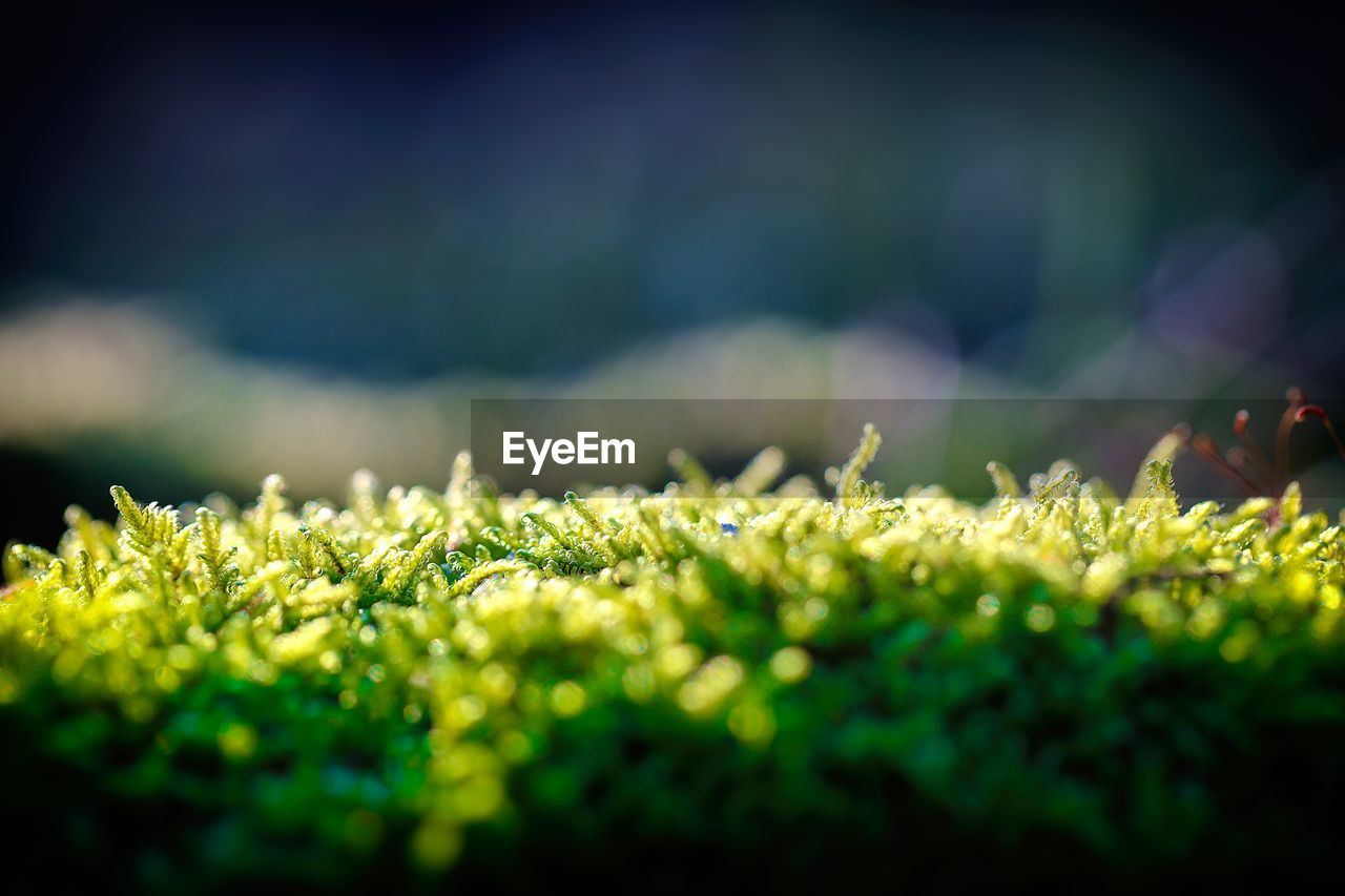 selective focus, plant, growth, close-up, green color, nature, beauty in nature, day, no people, field, land, tranquility, grass, outdoors, leaf, sunlight, plant part, freshness, agriculture, food and drink, surface level, herb