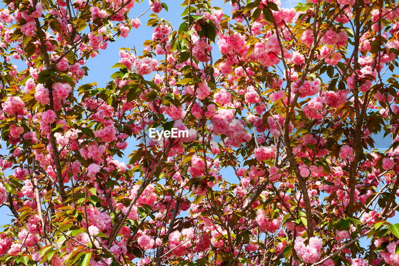 plant, pink color, growth, flower, flowering plant, beauty in nature, tree, freshness, fragility, vulnerability, low angle view, blossom, no people, branch, springtime, nature, day, backgrounds, abundance, full frame, outdoors, spring, cherry blossom, cherry tree