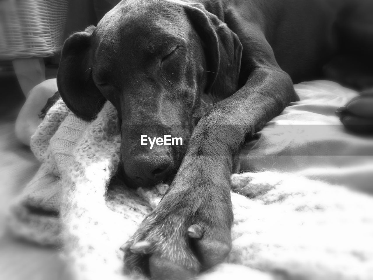 dog, pets, domestic animals, mammal, relaxation, one animal, animal themes, indoors, no people, close-up, weimaraner, day