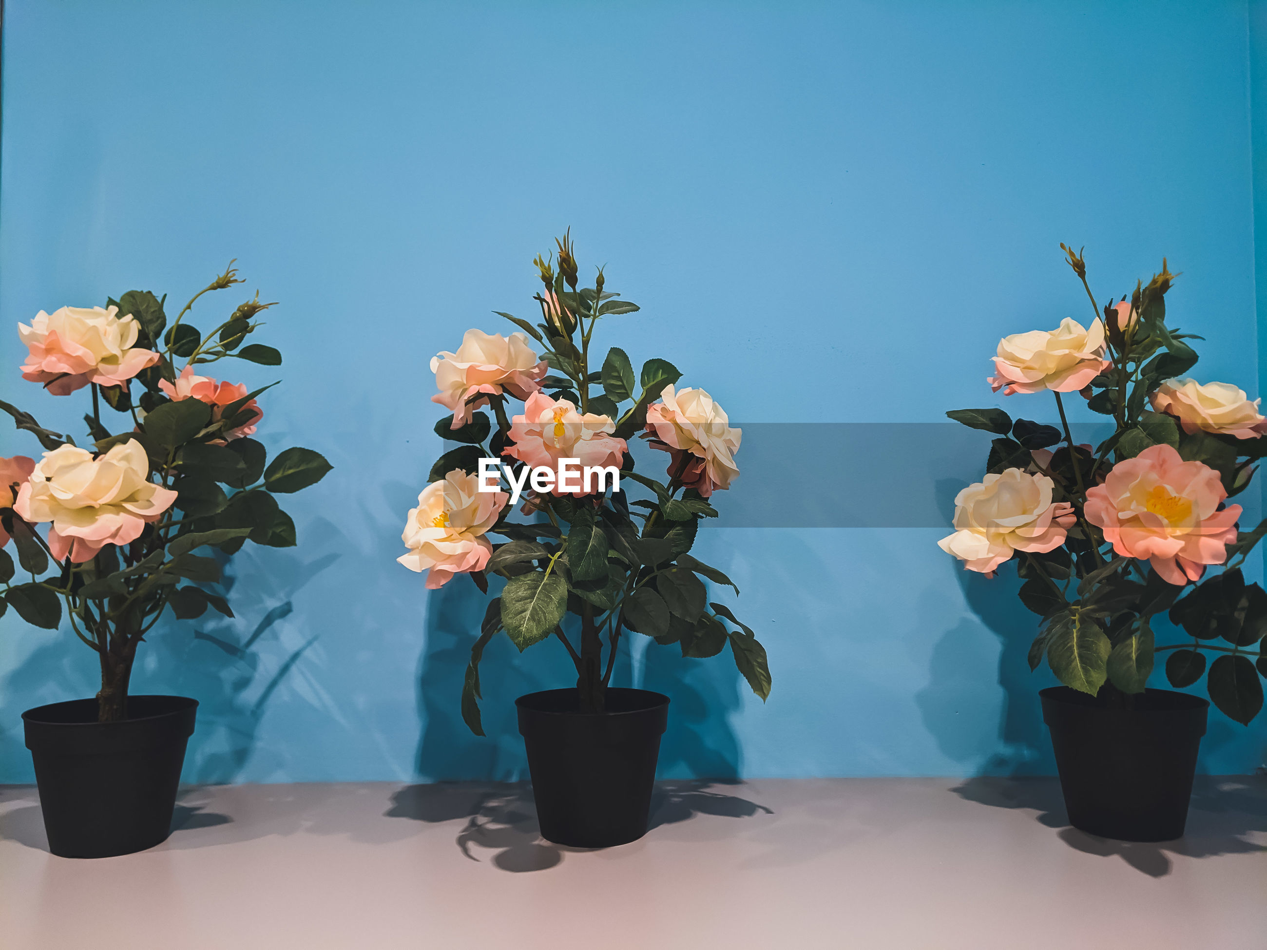 CLOSE-UP OF POTTED PLANTS ON TABLE AGAINST BLUE WALL