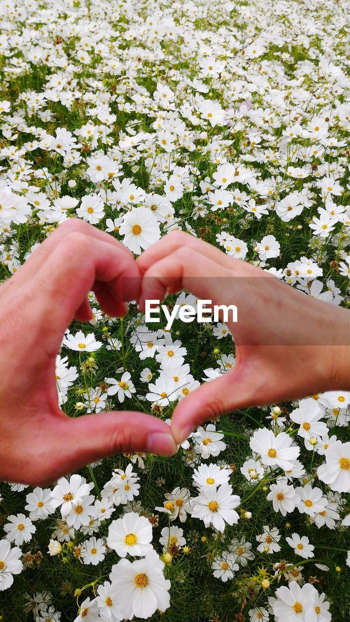 Cropped Image Of Hand Making Heart Shape Over Cosmos Flowers Blooming Outdoors